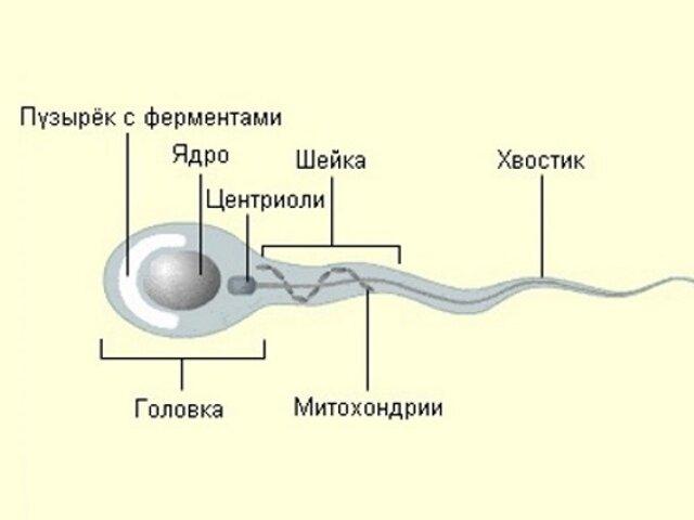kak-uvelichit-podvizhnost-spermotazoydov