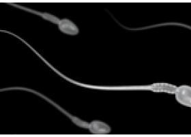 Что такое сперматозоид - ЭКО-блог