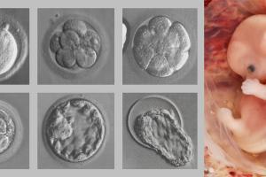 Изображение №2: Развитие эмбриона по дням после ЭКО - ЭКО-блог