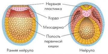 Изображение 2: Развитие плода на 2 месяце беременности