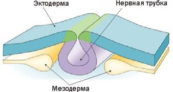 Изображение №2: Первый триместр беременности - ЭКО-блог
