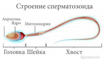 Изображение №0: Причины появления и лечение аномальных сперматозоидов - ЭКО-блог