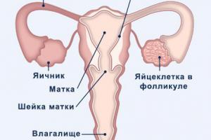 Изображение №0: Симптомы овуляции - ЭКО-блог