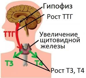 Изображение №1: Тиреотропный гормон повышен - что это значит для женщины? - ЭКО-блог