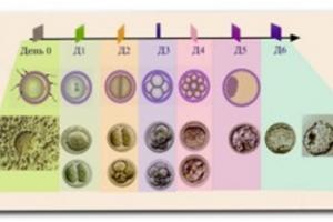 Изображение №2: Развитие эмбриона по дням - ЭКО-блог
