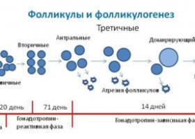 Фолликулогенез - что это - ЭКО-блог