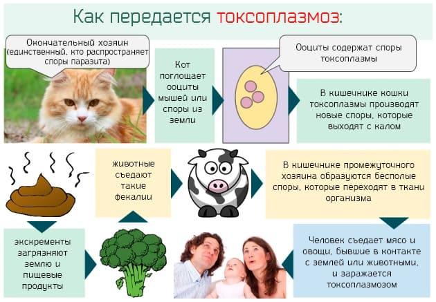 Toxoplasma gondii igg положительный - что означает при ...