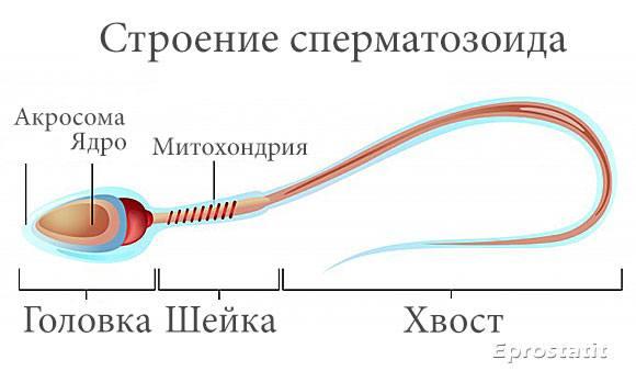Вялость сперматозоидов